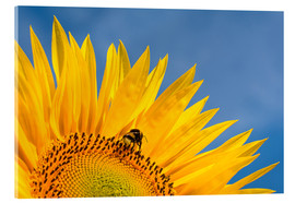 Acrylic print  Sunflower against blue sky - Edith Albuschat