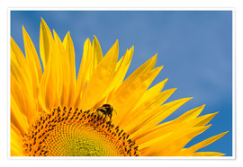 Premium poster Sunflower against blue sky