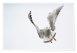 Premium poster Flying black headed gull (lat. Chroicocephalus ridibundus) against white sky