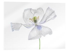 Acrylic print  White Papaver - Mandy Disher