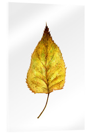 Acrylic glass  Birch Leaf - RNDMS
