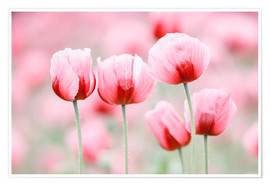 Premium poster Five poppy flowers