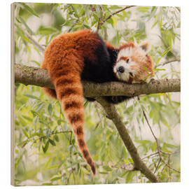 Wood print  Red panda resting in a tree