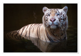 Premium poster  Tiger bathing