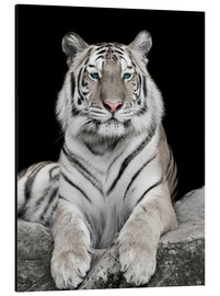 Aluminium print  Handsome tiger with color accents