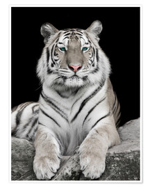 Premium poster  Handsome tiger with color accents