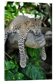 Acrylic print  Leopard hanging around