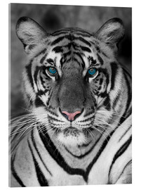Acrylic print  Tiger portrait with colour accents