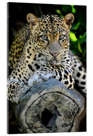 Acrylic print  African Leopard
