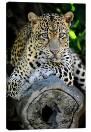 Canvas  African Leopard