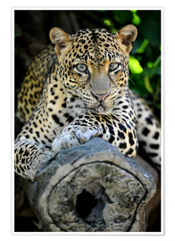 Poster  African Leopard