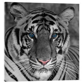 Acrylic glass  Tiger with color accents