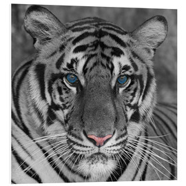 Foam board print  Tiger with color accents