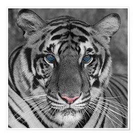 Premium poster Tiger with color accents