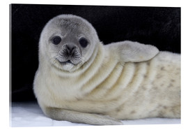 Acrylic glass  Weddell seal pup