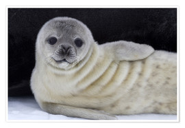 Premium poster Weddell seal pup
