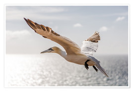 Poster Gannets on Helgoland