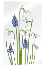 Acrylic print  Snowdrops and Muscari - Mandy Disher