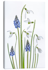 Canvas print  Snowdrops and Muscari - Mandy Disher