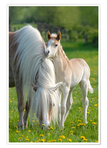 Premium poster Haflinger horse foal beside its mother