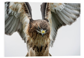 Forex  Red-tailed hawk (Buteo jamaicensis), bird of prey, England, United Kingdom, Europe - Janette Hill