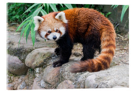 Acrylic print  Red Panda (Ailurus fulgens), Sichuan Province, China, Asia - G & M Therin-Weise