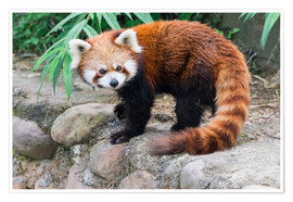 Premium poster  Red Panda (Ailurus fulgens), Sichuan Province, China, Asia - G & M Therin-Weise