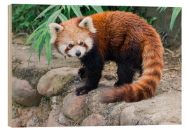 Wood  Red Panda (Ailurus fulgens), Sichuan Province, China, Asia - G & M Therin-Weise