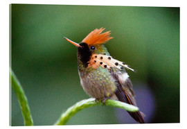 Acrylic glass  Tufted coquette hummingbird - Bob Gibbons
