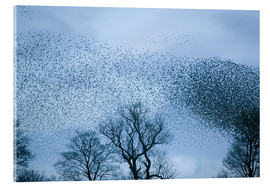Acrylic glass  Starlings flying to roost - Ashley Cooper