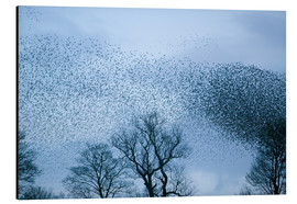 Aluminium print  Starlings flying to roost - Ashley Cooper
