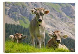 Wood print  Cows in an alpine pasture - Ashley Cooper