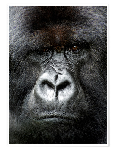 Premium poster Silverback gorilla looking intensely, in the Volcanoes National Park, Rwanda, Africa