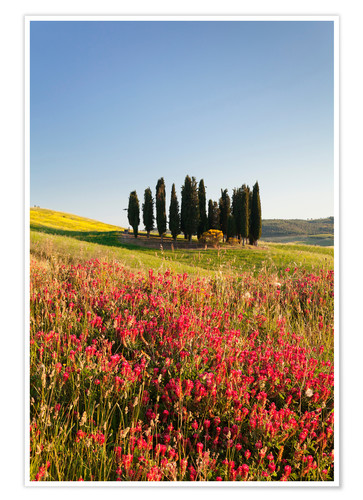 Premium poster Cypress trees and flower field