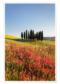 Poster  Group of cypress trees and field of flowers, near San Quirico, Val d'Orcia (Orcia Valley), UNESCO Wo - Markus Lange