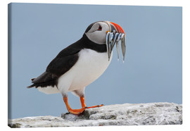 Canvas  Atlantic puffin (Fratercula arctica) with sand eels, United Kingdom, Europe - Patrick Frischknecht