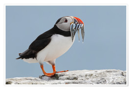 Poster  Atlantic puffin (Fratercula arctica) with sand eels, United Kingdom, Europe - Patrick Frischknecht