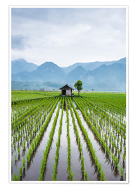 Premium poster  Small hut in rice field of Padi in Sumatra, Indonesia - John Alexander
