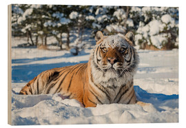 Wood  Siberian Tiger (Panthera tigris altaica), Montana, United States of America, North America - Janette Hill