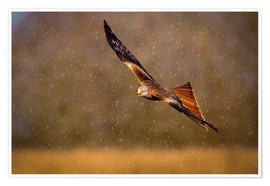 Premium poster  Red kite in flight - Andrew Sproule