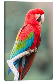 Canvas print  Red-green parrot - G & M Therin-Weise