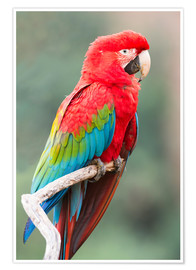 Premium poster Red-green parrot