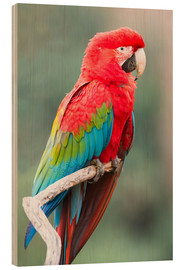 Wood print  Red-green parrot - G & M Therin-Weise