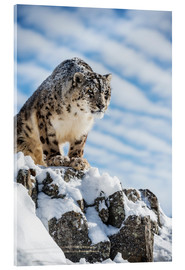 Acrylic glass  Snow leopard (Panthera india) - Janette Hill