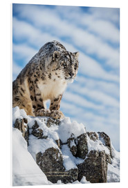 Forex  Snow leopard (Panthera india) - Janette Hill