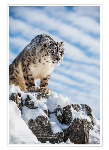 Premium poster Snow leopard (Panthera india)