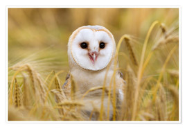 Premium poster Barn owl in wheat field