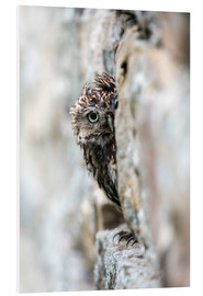 Foam board print  Little owl perched in stone barn - Ann & Steve Toon