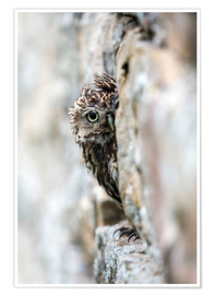 Premium poster Little owl perched in stone barn