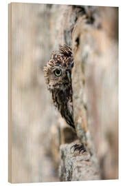 Wood print  Little owl perched in stone barn - Ann & Steve Toon